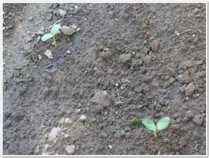 種から芽が出たスイカ