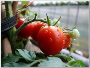 おいしそうなミニトマト