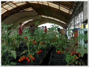 食卓菜園用のミニトマト