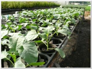 ブロッコリーの苗栽培