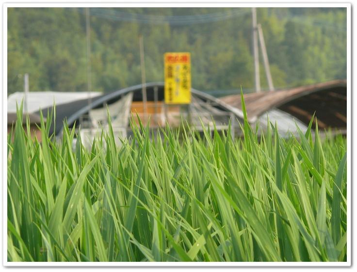 田んぼの緑と十時花園