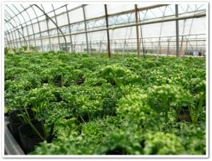 パセリの森を栽培