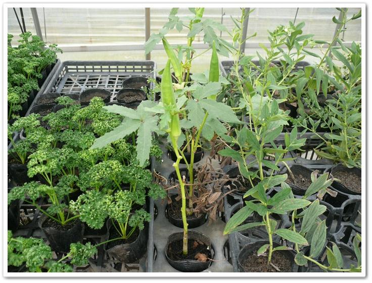 ポット栽培でオクラを育てる