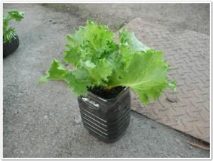 ペットボトルでレタス栽培