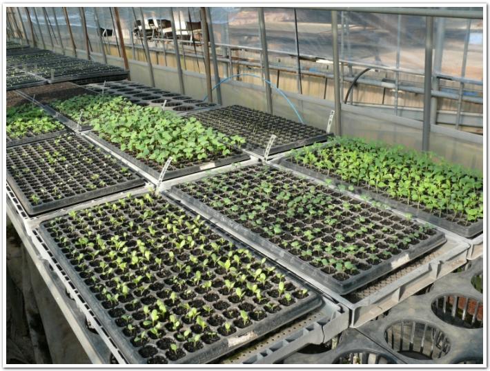 発芽した野菜たち