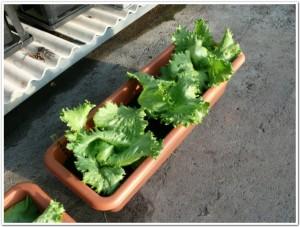 レタスをプランターで栽培