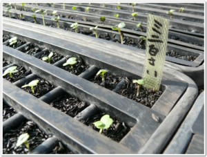 ミニ白菜が発芽