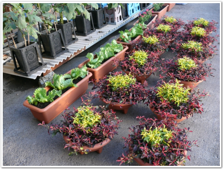 プランターにレタスを植える