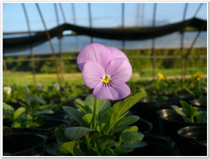 2011年よく咲くスミレ開花