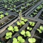 ミニ白菜のプラグ苗