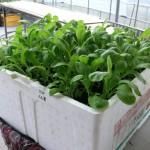 小松菜を再生土で栽培