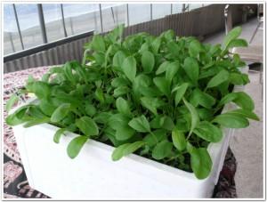 再生土で小松菜を栽培