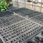 プラグ苗を栽培