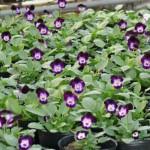 よく咲くスミレ栽培中