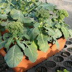 プランター栽培のブロッコリー