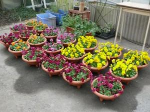 良く咲くスミレの寄せ植え