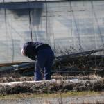 2012年紫草の様子を観察