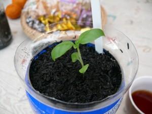 バジルを栽培する