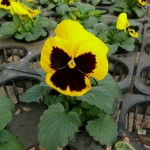 pansy-2012