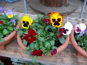 パンジーやよく咲くスミレの寄せ植え