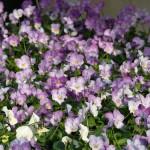 kind-purple