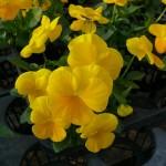 黄色の良く咲くスミレ