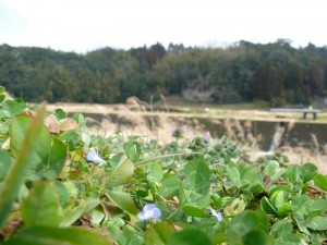 川沿いに咲く小さなお花