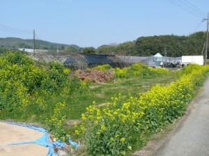 腐葉土に菜の花