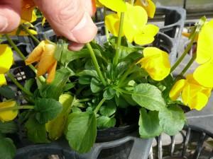 花の摘み方