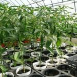 シシトウ9cmポット栽培