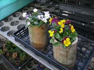 竹プランターによく咲くスミレを植える