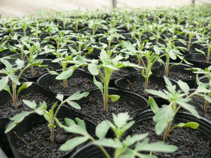 ポットでトマト苗を栽培中