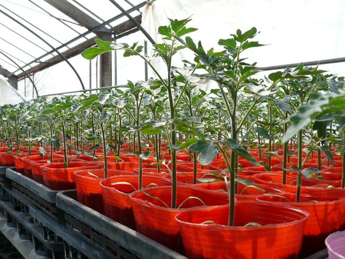トマトを育苗ポットで栽培中