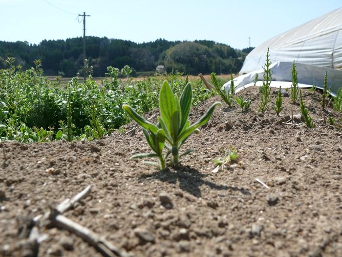 2012年4月の春紫草の芽が地から出てくる