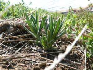 4月初旬の紫草