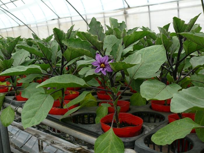 ミニナスの苗に花咲く2012年