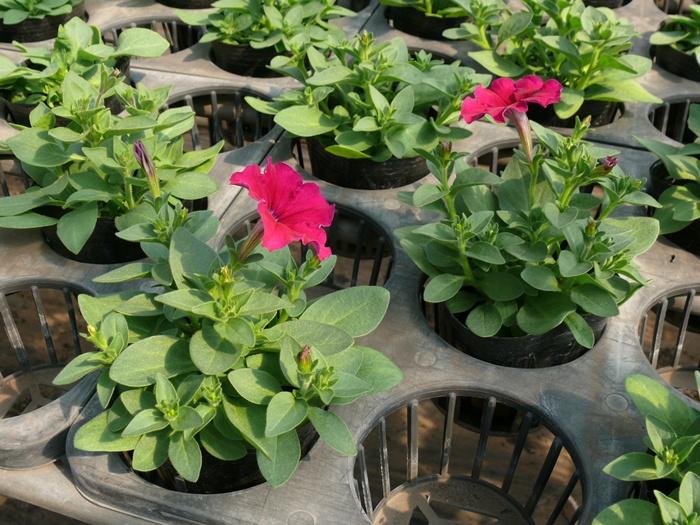 ペチュニア・花を選ぶ