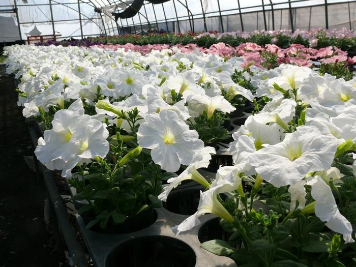 白色のペチュニア開花