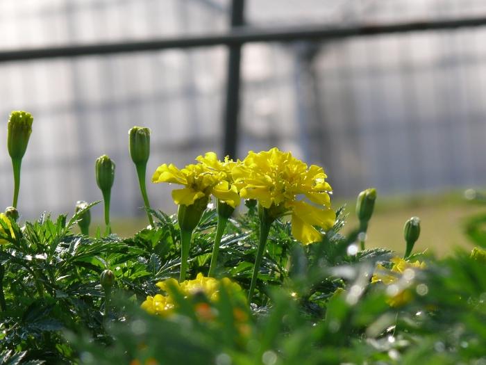 マリーゴールド黄色