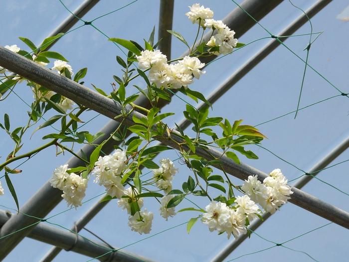 白い花が咲くモッコウバラのカーテン