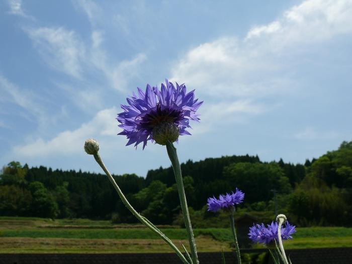 紫色の矢車草