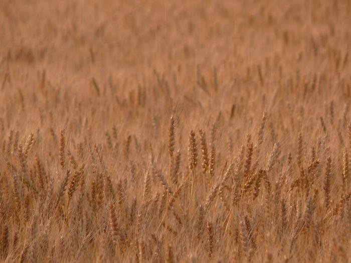 黄金色した小麦
