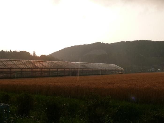 集中豪雨にうたれる小麦畑