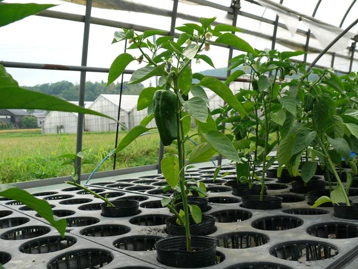 9cmポットで栽培しているピーマン