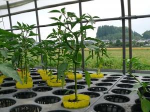 トウガラシの苗