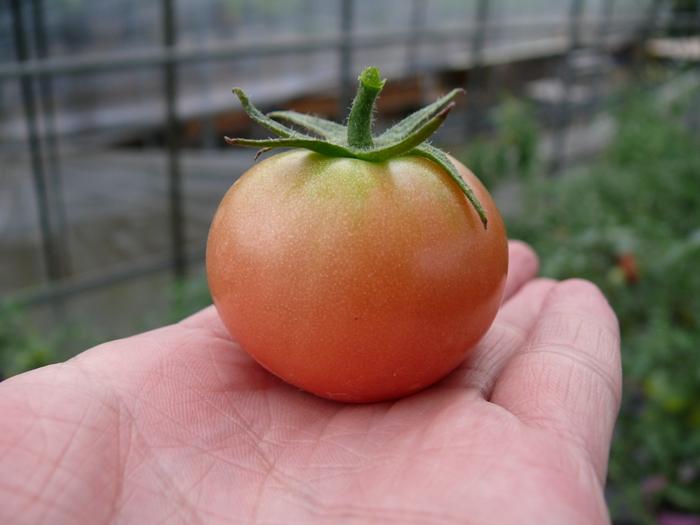 ポット栽培から収穫したトマト