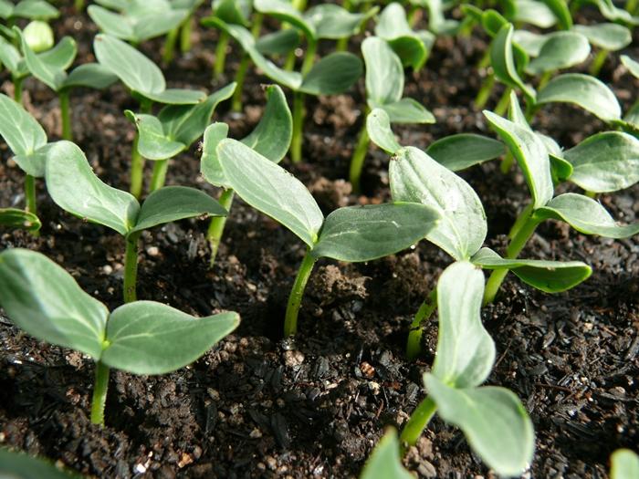 種まき発芽苗づくりの源の黒土