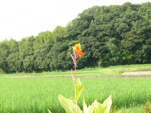 日差しを浴びるカンナの花