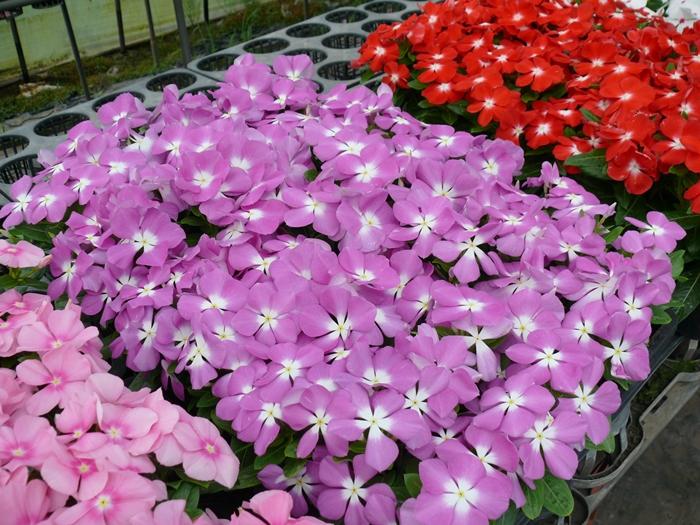 紫色のニチニチソウ