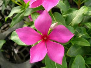 ニチニチソウのお花